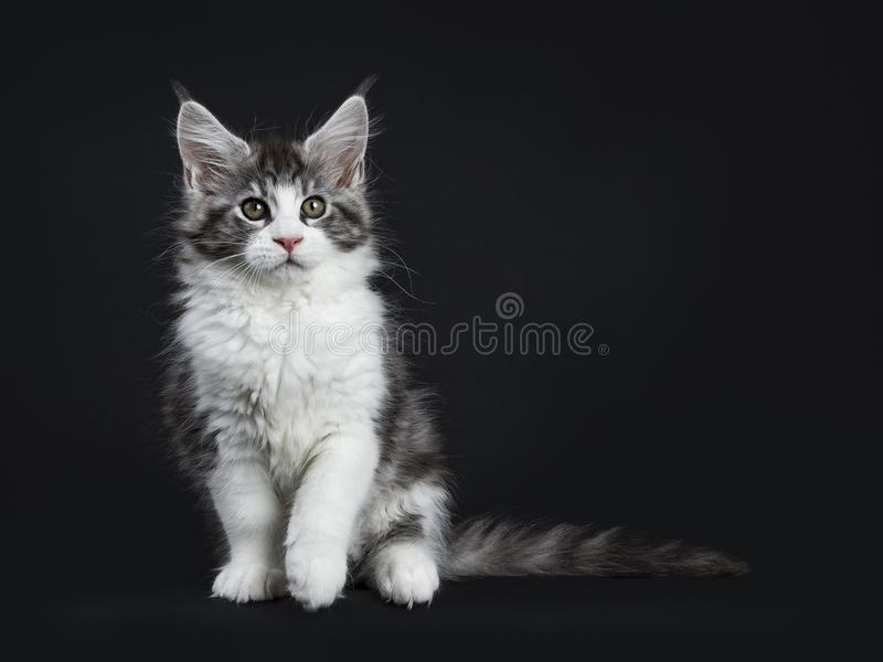 Handsome black tabby with white Maine Coon cat. Handsome black tabby with white Maine Coon / cat kitten sitting straight with one paw lifted up isolated on black stock images