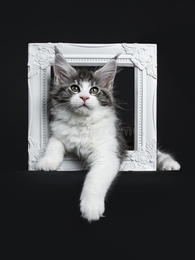 Handsome black tabby with white Maine Coon. / cat kitten laying through white photo frame isolated on black background with one paw hanging over edge stock image