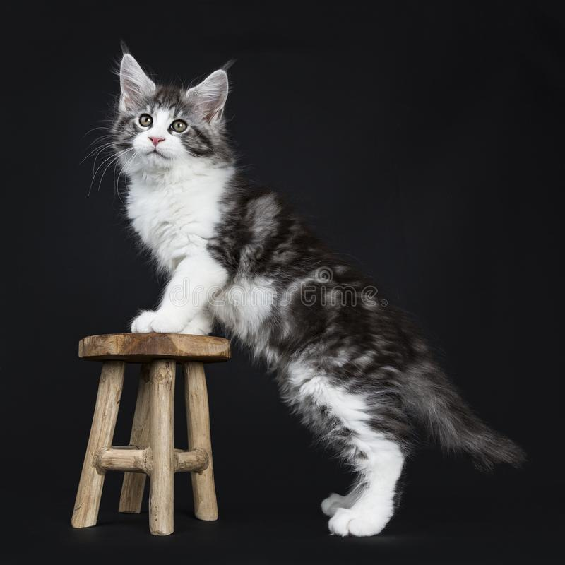 Handsome black tabby with white Maine Coon. Cat kitten standing side ways with front paws on wooden stool, isolated on a black background while looking straight stock photos