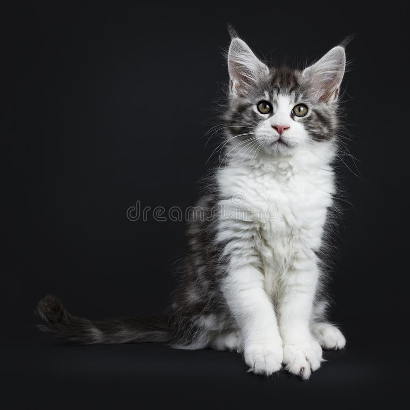 Handsome black tabby with white Maine Coon. / cat kitten sitting straight facing camera with tail beside isolated on black background while looking straight at royalty free stock images