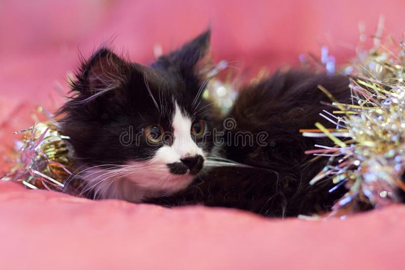 Handsome black and white cat covered in silver tinsel - a Christmas kitty. Pink background stock images