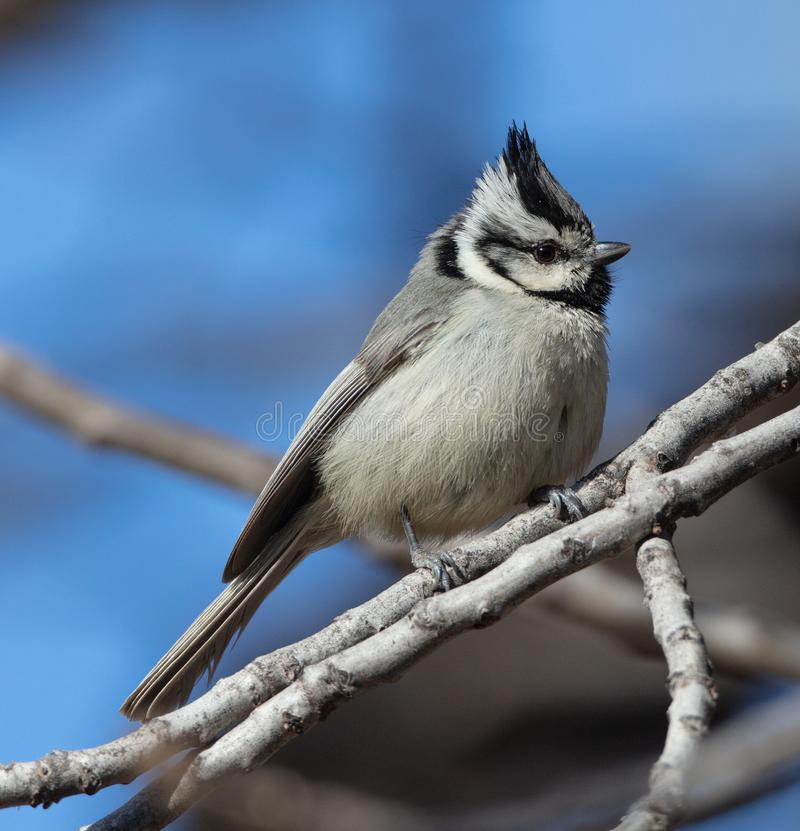 Bridled Titmouse in California stock images