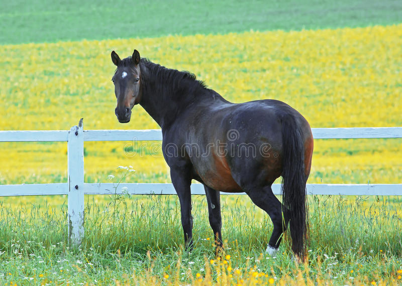 A handsome brown-black horse. In the horse paddock, posing in front of the yellow fields royalty free stock photography