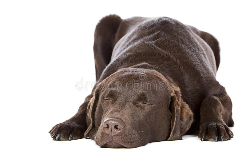 Handsome Chocolate Labrador Asleep. Handsome Chocolate Labrador - Let Sleeping Dogs Lie royalty free stock images