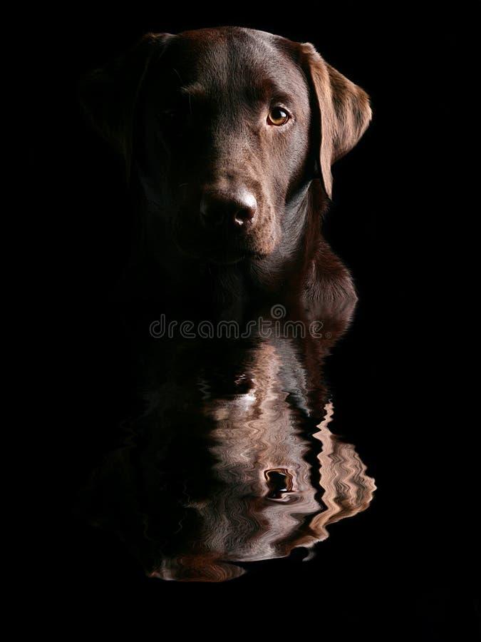 Handsome Chocolate Labrador's Head Reflected royalty free stock photos