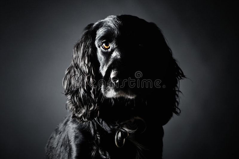 Handsome Cocker Spaniel. Against a Grey Background stock images