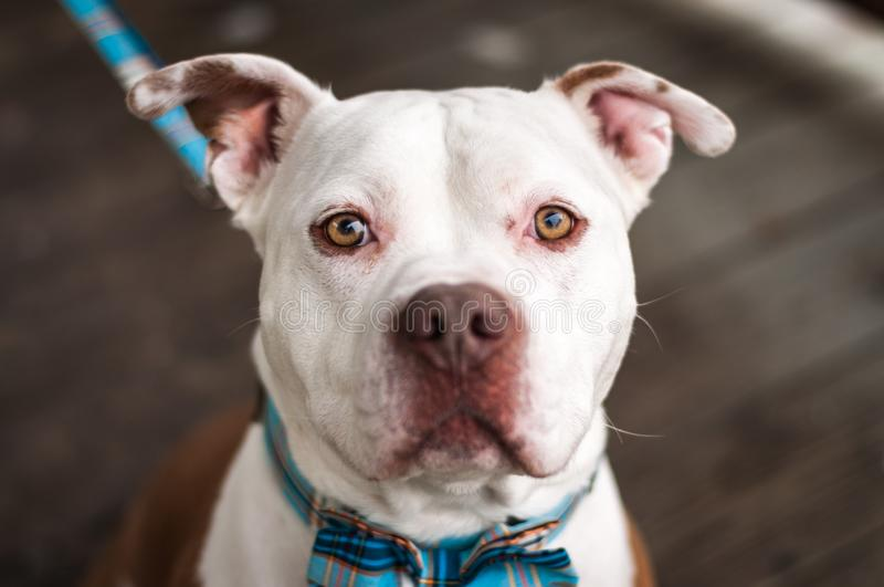 Pit Bulls and Bow Ties royalty free stock photos