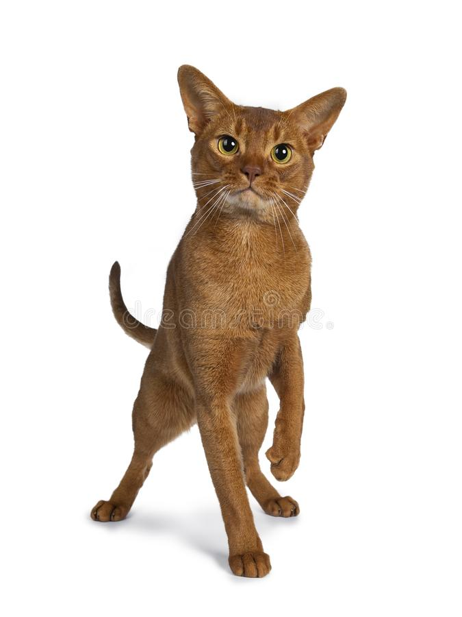 Handsome excellent young sorrel Abyssinian male cat, Isolated on white background. royalty free stock image
