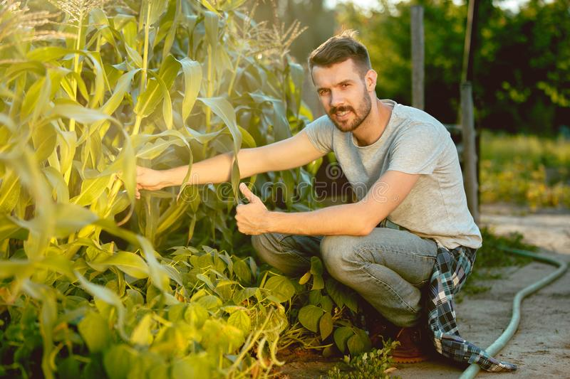 Handsome farmer in his thirties picking corn on a field stock images