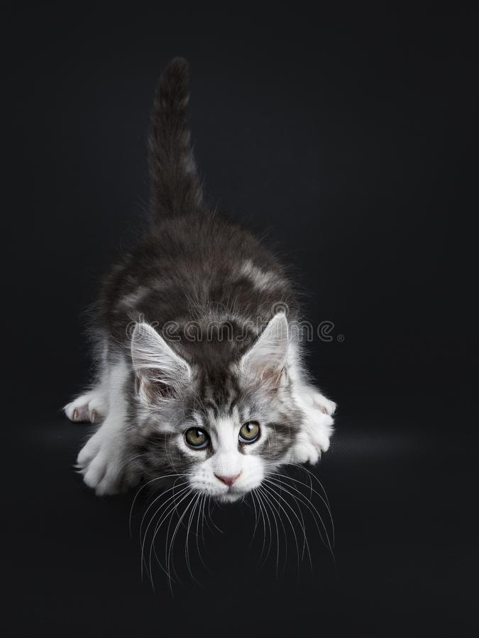 Handsome funny black tabby with white Maine Coon. / cat kitten hunting / jumping off isolated on black background while looking straight at lens royalty free stock image