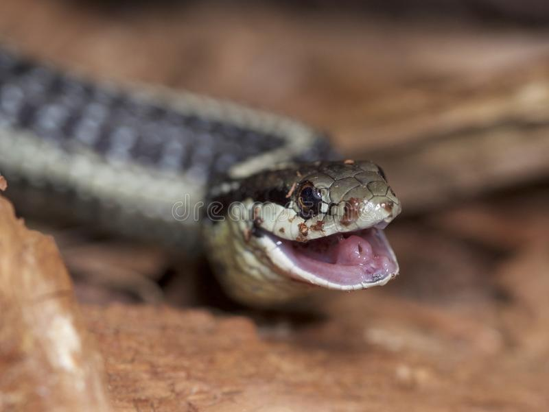 Garter Snake smiling. A handsome Garter Snake happy that he finally swallowed a large, slimy slug in Seattle, Washington, USA stock photography