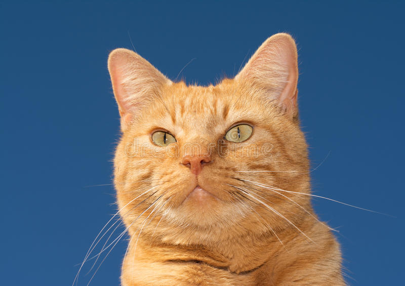 Handsome ginger tabby cat against clear blue sky royalty free stock images