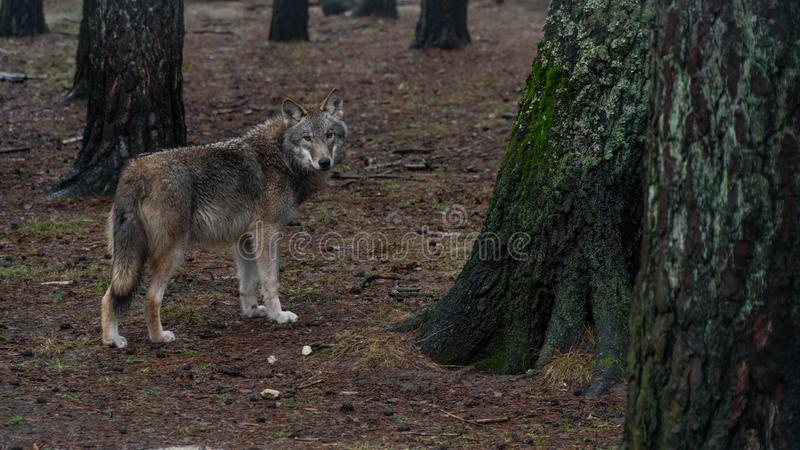 Handsome hungry wolf in the forest stock photography