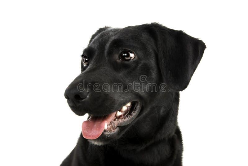 Handsome Labrador Royalty Free Stock Image