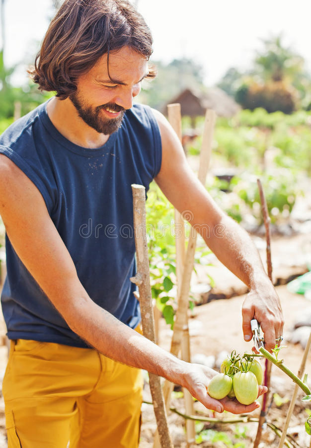 Handsome man picking green tomatoes stock photo