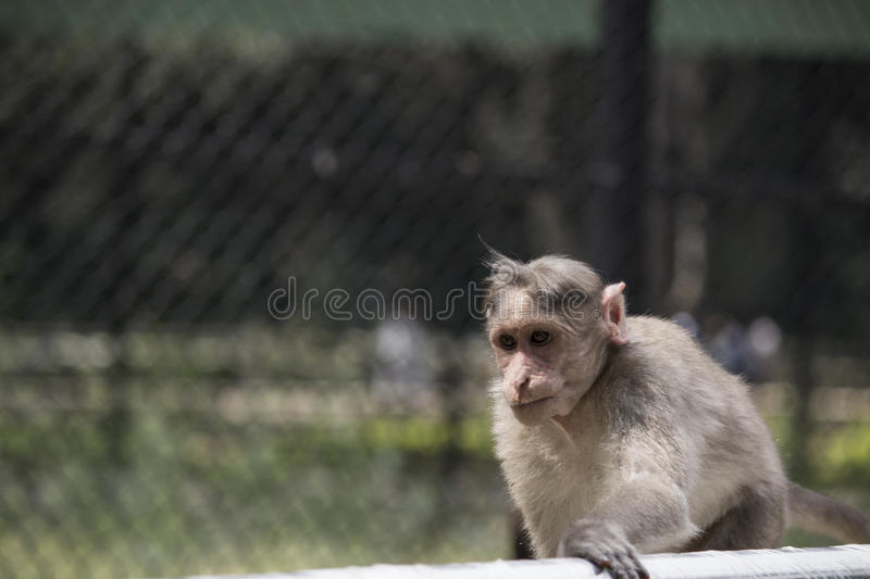 Handsome monkey royalty free stock image