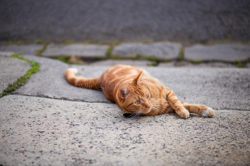 Handsome red ginger tabby cat laying down in a driveway stock images