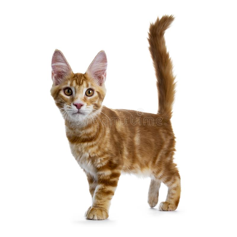 Free Handsome Red Maine Coon Cat On White Background Royalty Free Stock Photography - 125825767
