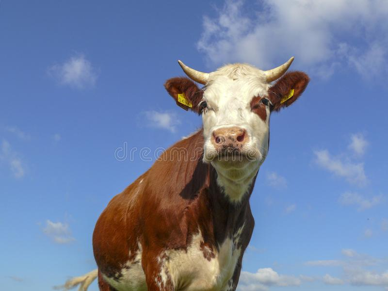 Handsome red pied young cow with white horns and pink nose, low view, against a blue cloudy sky stock image