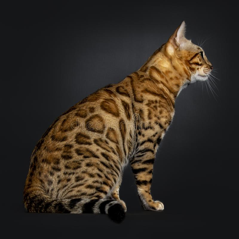 Handsome shiny young adult male Bengal cat, isolated on black background stock images