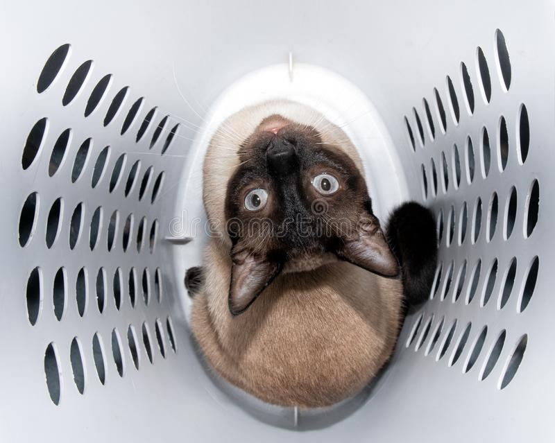 Handsome Siamese cat sitting in a laundry hamper. Looking up stock images
