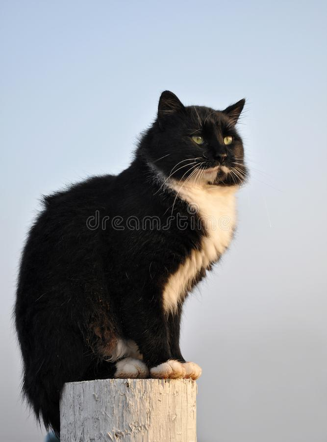 Handsome tuxedo cat sitting on top of a white fence post. With a foggy morning background royalty free stock photography