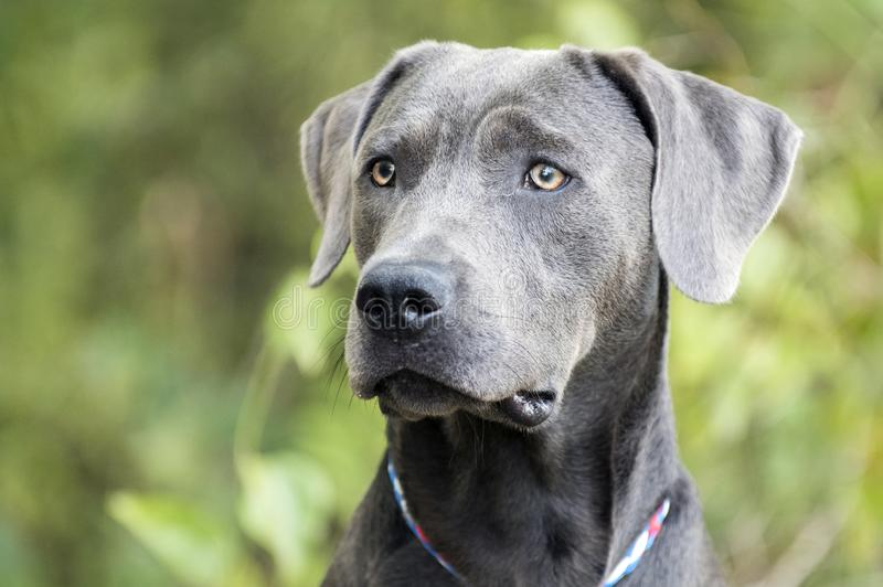 Handsome Weimaraner mix breed dog profile portrait royalty free stock image