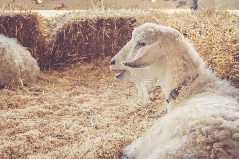 Handsome white goat with luxurious fur relaxes among bales of hay at the country fair stock photo
