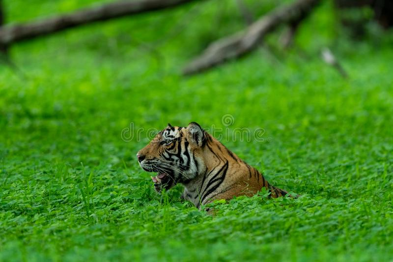 Handsome and wild male tiger panthera tigris sighted in green background after heavy rains at Ranthambore. In an evening safari to buffer zone during monsoon stock photo