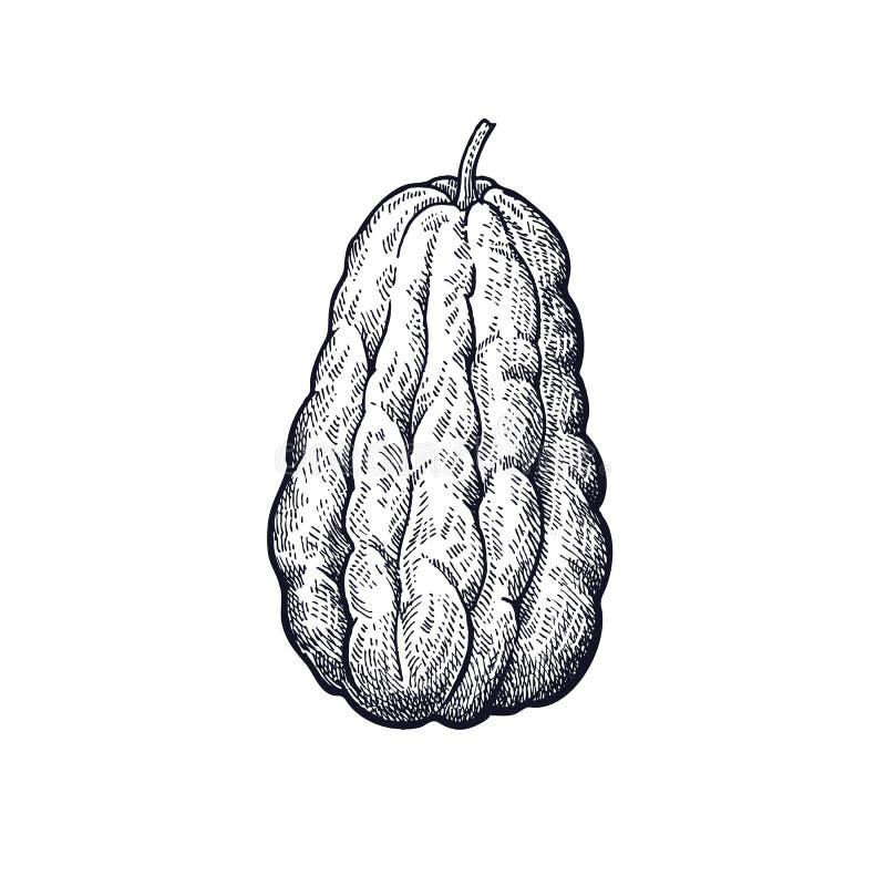 Handteckning av grönsakbuskechayoten royaltyfri illustrationer