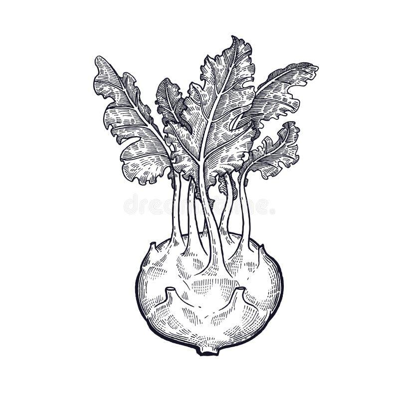 Handteckning av grönsakkålkålrabbi royaltyfria foton