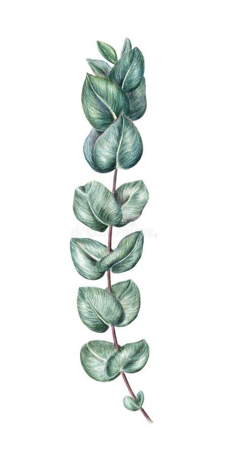 Handtekening, schets van eucalyptustak, takje stock illustratie