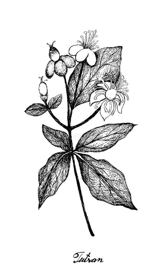 Handtekening van Tutsan of zoet Amber stock illustratie