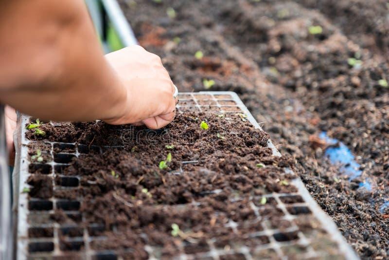 Handtuinman de landbouwzaailing van groene eiken sla op dienblad in s royalty-vrije stock foto