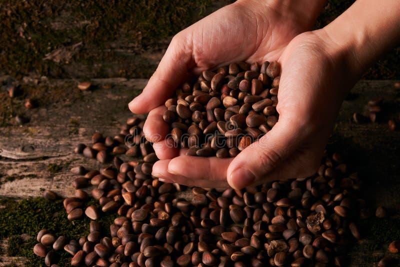 Handvol Siberische noten van de cederpijnboom stock afbeelding