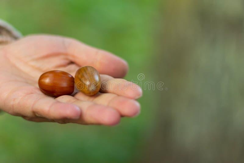 Handvoll Eicheln Gehen in den Herbstwald stockfotografie