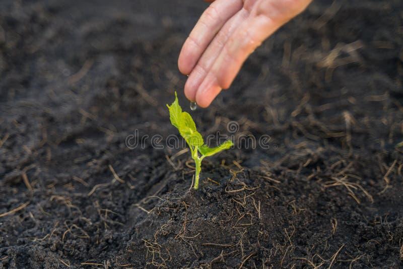 Handvrouw die een jong spruit, milieu en ecologieconcept water geven royalty-vrije stock afbeelding