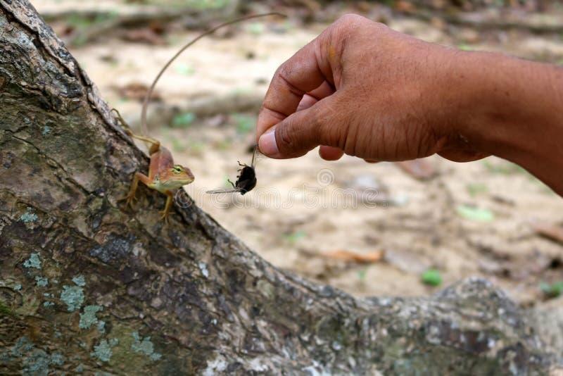 Handzuführungsinsekten zu den Eidechsen stockfotos
