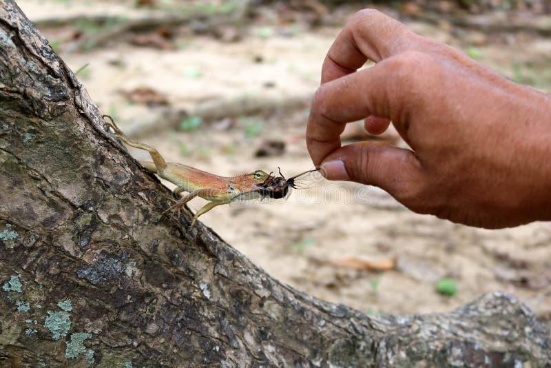Handzuführungsinsekten zu den Eidechsen stockbilder