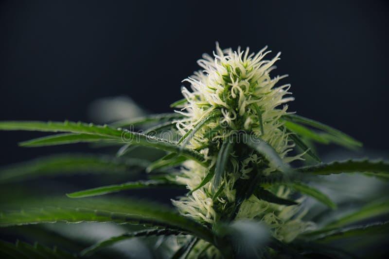 Hanf blüht - blühende Marihuanaanlage mit frühem weißem Fluss stockfoto