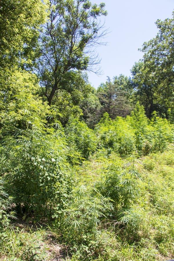 Hanf, der in Nordamerika wild wächst stockbilder