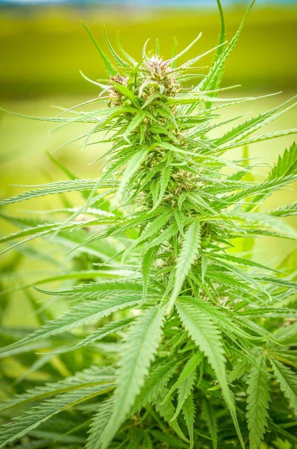 Hanf- oder Marihuanahanfbetriebsdetailnahaufnahme lizenzfreies stockbild