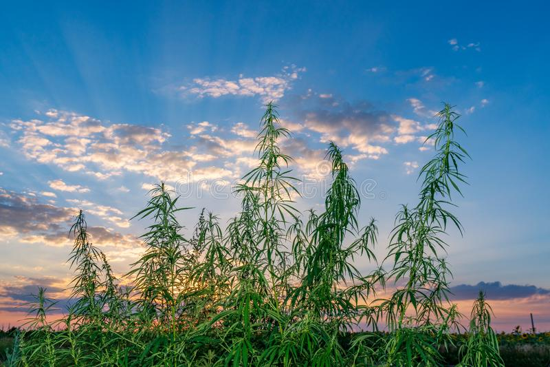 Hanfblatt, medizinisches Marihuana Hanfblumen und -samen auf dem grünen Gebiet mit Rücklicht Marihuanapflanzenblätter, die hoch w lizenzfreie stockbilder