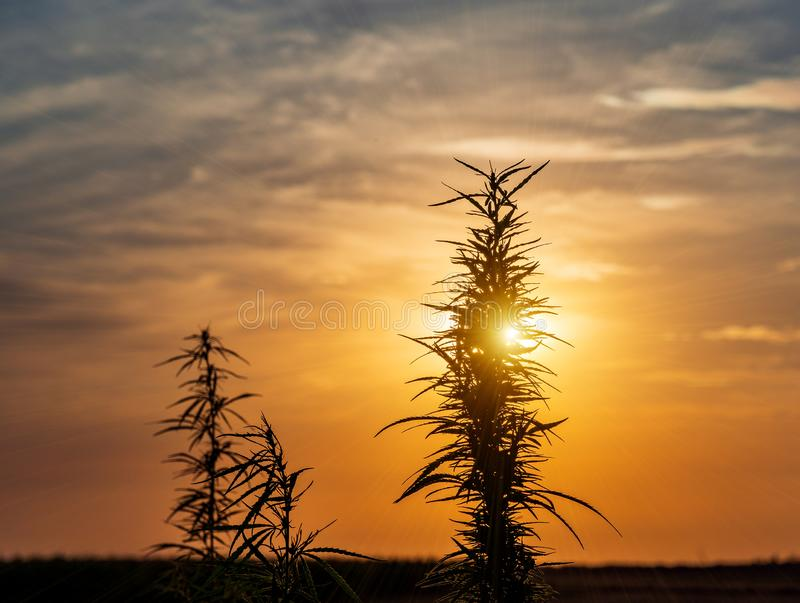 Hanfblatt, medizinisches Marihuana Hanfblumen und -samen herein lizenzfreies stockbild