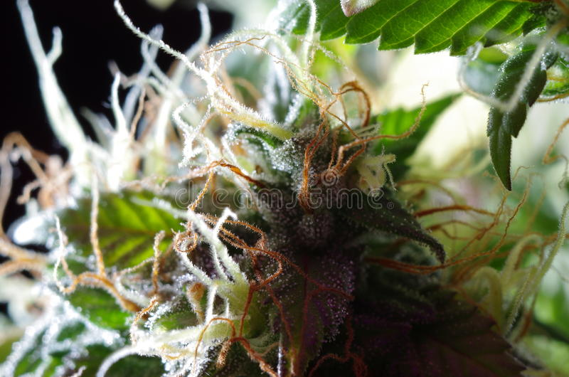Hanfblumen lizenzfreies stockfoto