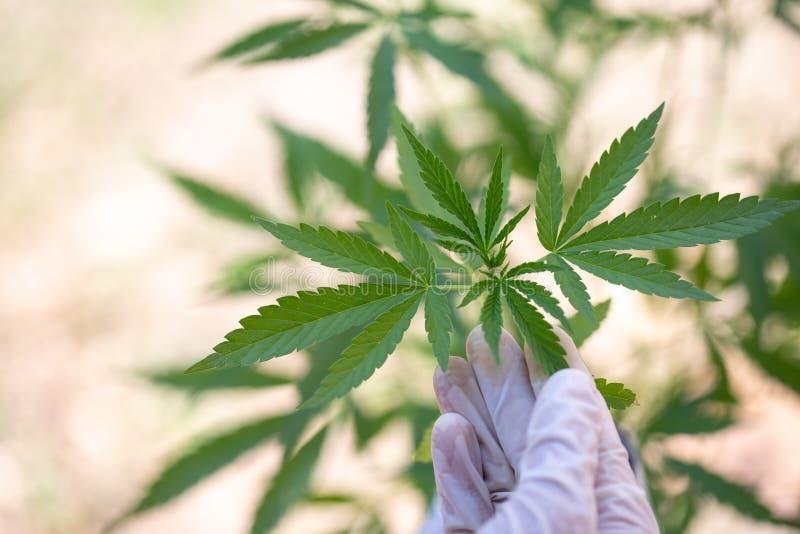 Hanfforschung, Bearbeitung von Sativa Marihuana Hanf, blühende Hanfanlage als legale medizinische Droge, Kraut, bereiten zu vor lizenzfreies stockbild