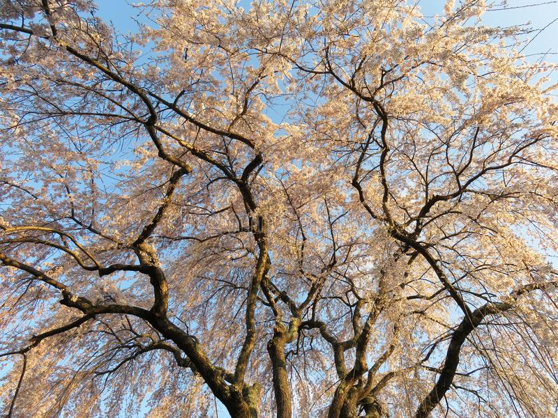 Hangend Cherry Blossom Tree in April stock foto's