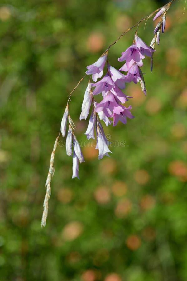 Hangend roze bloemen, sluit omhoog foto; bloeiend gras royalty-vrije stock fotografie