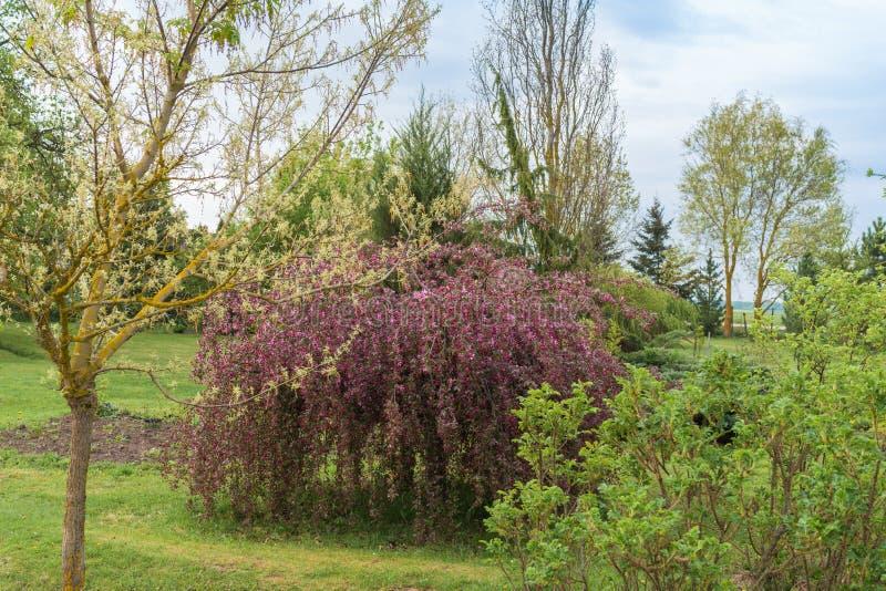 Hangende appelboom met purpere bloemen stock afbeeldingen