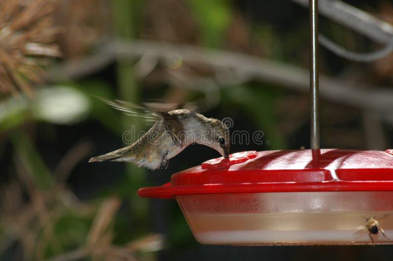 Download Hangende kolibrie stock foto. Afbeelding bestaande uit hovering - 278394